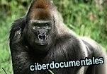 el gorila macho alfa macumba
